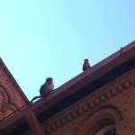 Monkeys on a Rooftop